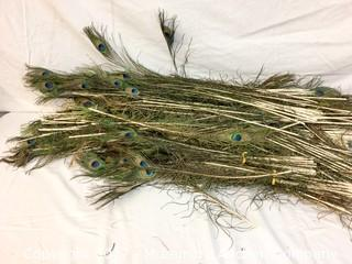 Large Quantity Of Peacock Feathers